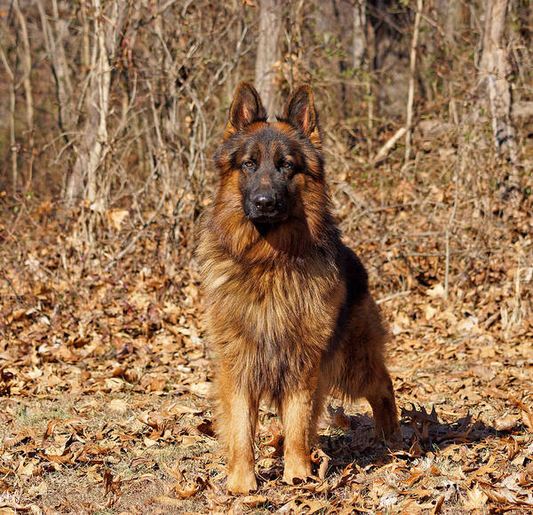 Photograph - German Shepherd - Gusto by Sandy Keeton
