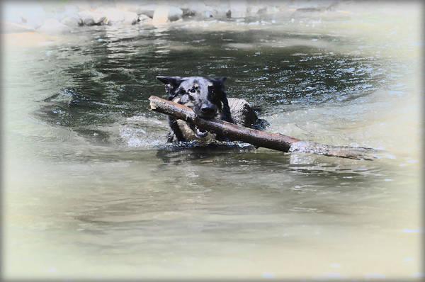 Fetch Photograph - German Shepherd Playing Fetch by Bill Cannon