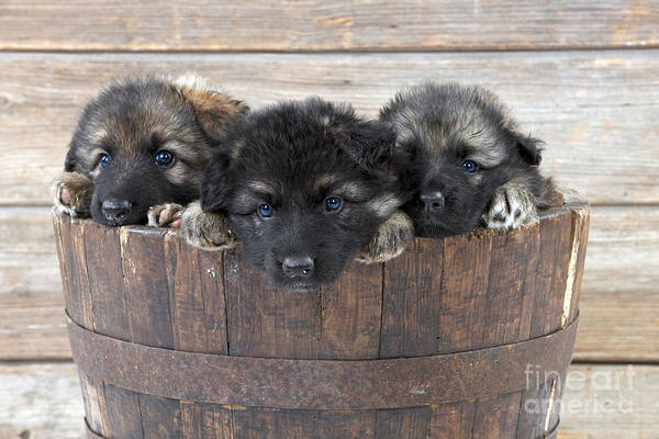 Photograph - German Shepherd Puppies by John Daniels