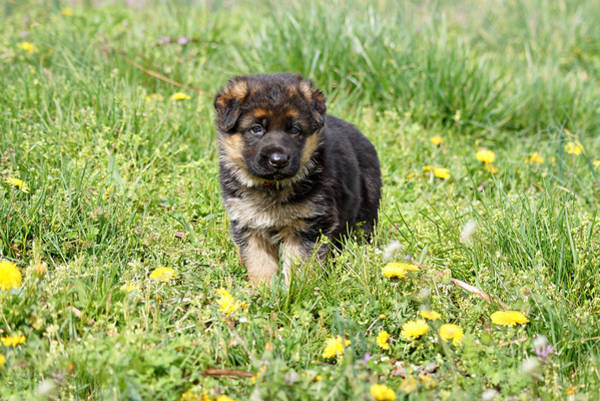 Photograph - German Shepherd Puppy Posing by Sandy Keeton