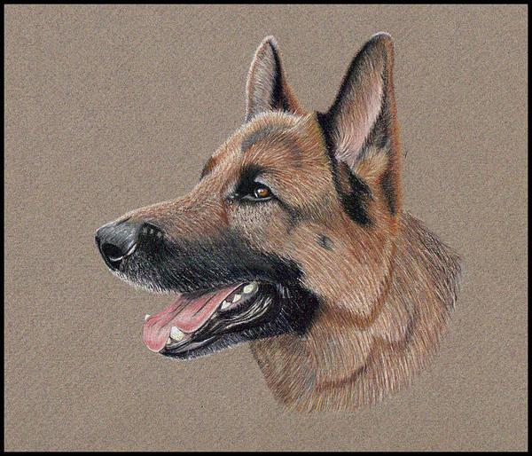 German Shepherd Drawing - German Shepherd by Ron Bird