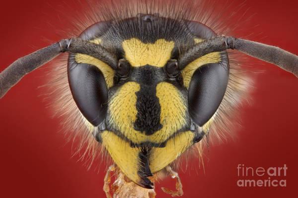 Photograph - German Wasp Head by Matthias Lenke