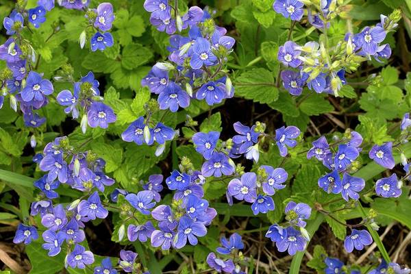 Veronica Photograph - Germander Speedwell (veronica Chamaedrys) by Bob Gibbons/science Photo Library