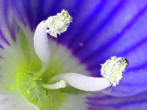 Veronica Photograph - Germander Speedwell (veronica Chamaedrys) by Karl Gaff / Science Photo Library
