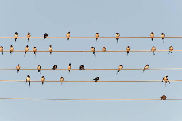 Barn Swallow Wall Art - Photograph - Germany, Unteruhldingen, Flock Of  Barn by Westend61