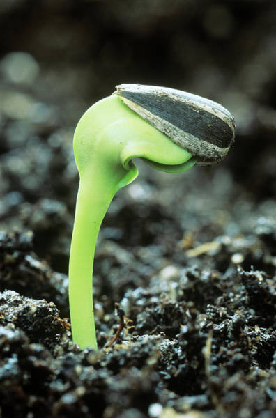 Sunflower Seeds Photograph - Germinating Sunflower Seed by Steve Taylor/science Photo Library