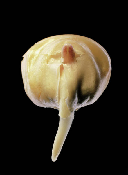 Monocotyledon Photograph - Germination Of A Maize Seed by Dr Jeremy Burgess/science Photo Library.