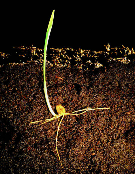 Wall Art - Photograph - Germination Of Wheat by Adam Hart-davis/science Photo Library