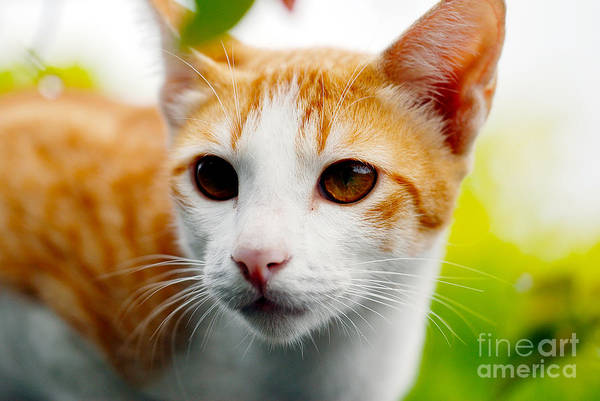 Orange Tabby Photograph - Getting Ready For The Hunt by Ivy Ho