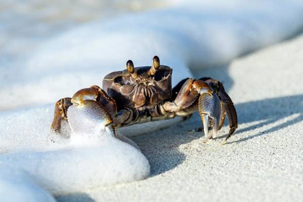 Atoll Photograph - Ghost Crab In The Foam Line by Peter Chadwick