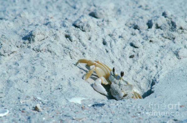 Photograph - Ghost Crab by Millard H Sharp