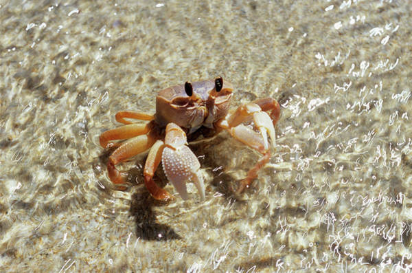 Wall Art - Photograph - Ghost Crab (ocypode Quadrata) by Sinclair Stammers/science Photo Library