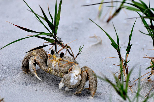 Photograph - Ghost Crab by Peter DeFina