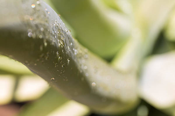 Photograph - Giant Agave Abstract 2 by Scott Campbell