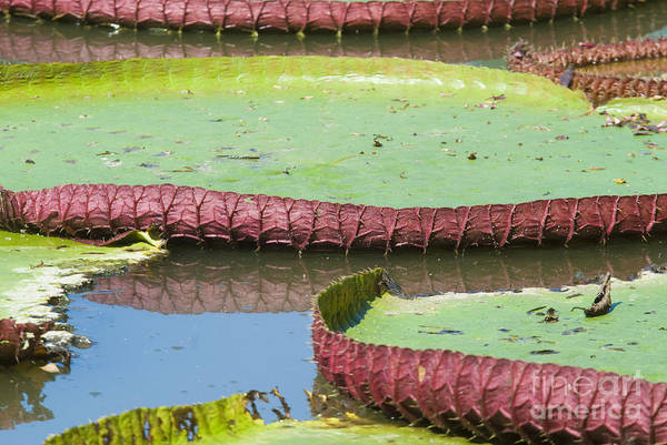 Victoria Amazonica Wall Art - Photograph - Giant Amazon Water Lilies by William H. Mullins