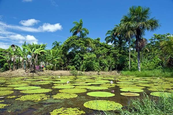 Victoria Amazonica Wall Art - Photograph - Giant Amazon Water Lily by Tony Camacho/science Photo Library