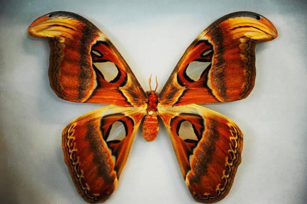 Photograph - Giant Atlas Moth by Jenny Rainbow