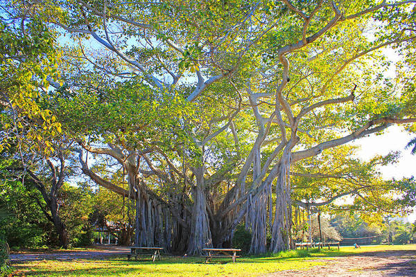 Indian Banyan Photograph - Giant Banyan Tree by Iryna Goodall