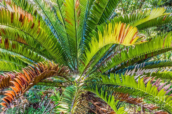 Photograph - Giant Cycad by Kate Brown