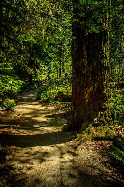 Photograph - Giant Douglas Fir Trees Collection 2 by Roxy Hurtubise
