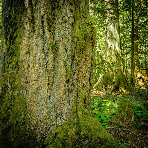 Photograph - Giant Douglas Fir Trees Collection 5 by Roxy Hurtubise