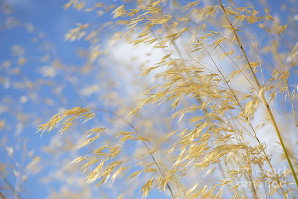 Seed Head Wall Art - Photograph - Giant Feather Grass by Tim Gainey