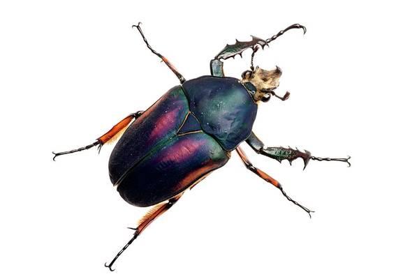Wall Art - Photograph - Giant Flower Beetle by Alex Hyde