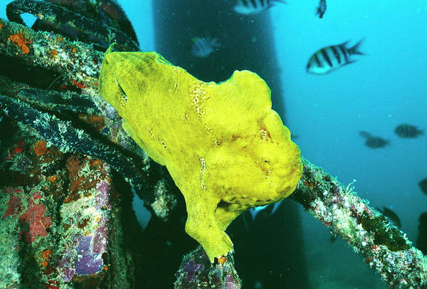 Mabul Photograph - Giant Frogfish by Matthew Oldfield/science Photo Library