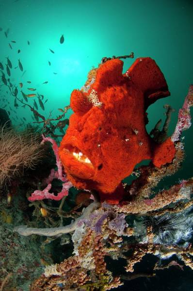Atoll Photograph - Giant Frogfish Sat On Reef by Scubazoo