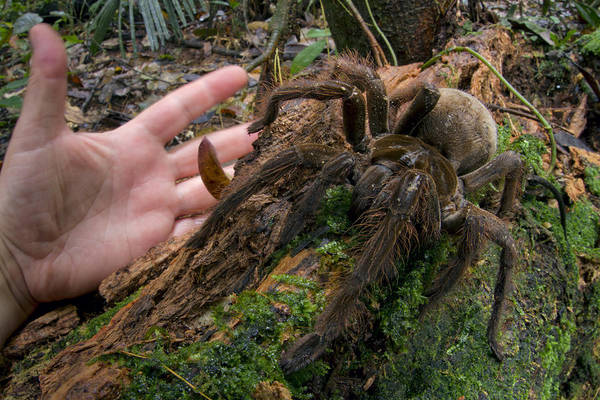Wall Art - Photograph - Giant Goliath Spider by Piotr Naskrecki