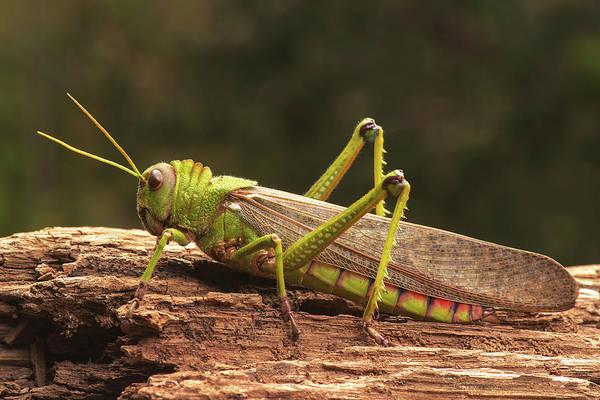 Grasshopper Photograph - Giant Grasshopper by Ktsdesign