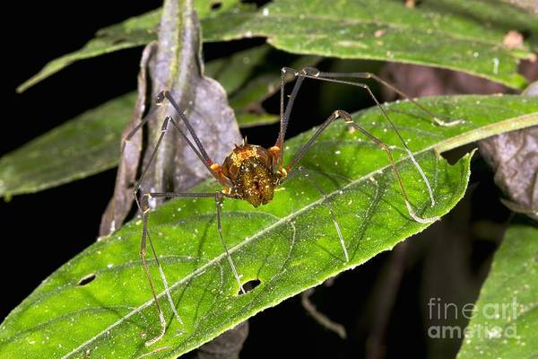 Harvestman Photograph - Giant Harvestman by Dr Morley Read