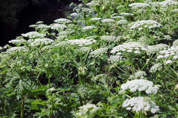 Introduced Species Photograph - Giant Hogweed (heracleum Mantegazzianum) by Gustoimages/science Photo Library