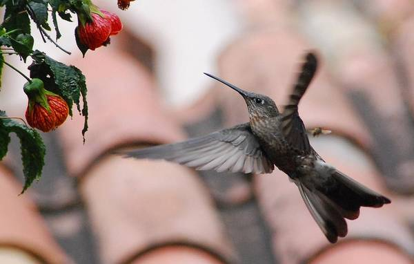 Photograph - Giant Hummingbird by Cascade Colors