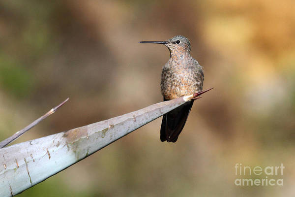 Colibri Photograph - Giant Hummingbird by James Brunker