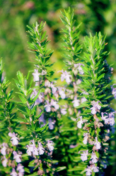 Wall Art - Photograph - Giant Hyssop (agastache Barberi) by Maria Mosolova/science Photo Library