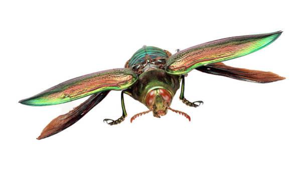 Invertebrata Wall Art - Photograph - Giant Jewel Beetle by Natural History Museum, London