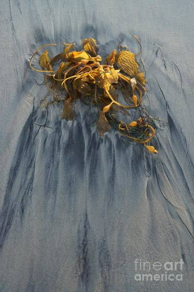 Photograph - Giant Kelp by Kerri Mortenson