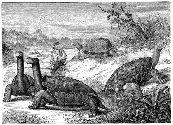 Galapagos Islands Wall Art - Photograph - Giant Land Tortoises by Universal History Archive/uig