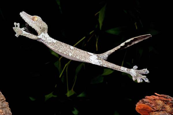 Gecko Wall Art - Photograph - Giant Leaf-tailed Gecko, Uroplatus by David Northcott