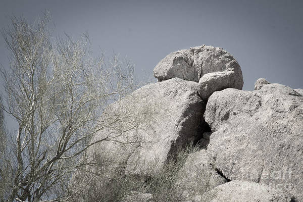 Chuckwalla Photograph - Giant Lizard On Rock by Marianne Jensen