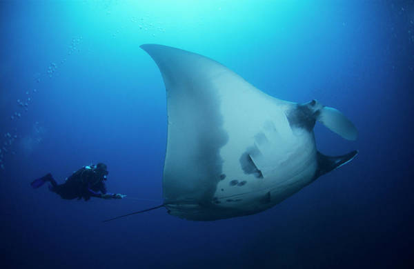 Manta Rays Photograph - Giant Manta And Diver by Louise Murray/science Photo Library