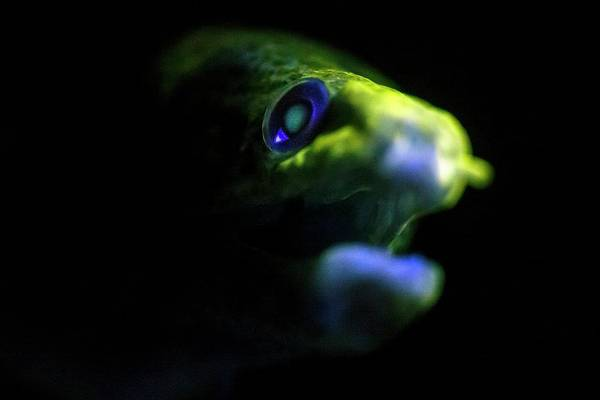 Eels Photograph - Giant Moray Eel Fluorescing by Ethan Daniels