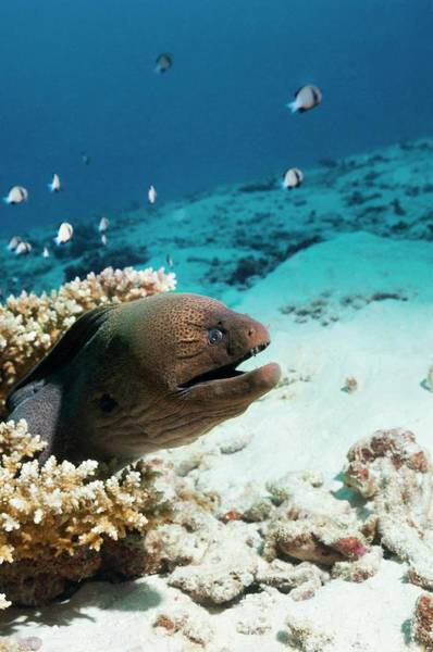 Eels Photograph - Giant Moray Eel On A Reef by Georgette Douwma