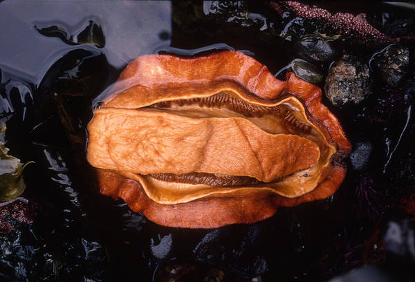 Wall Art - Photograph - Giant Pacific Chiton by Nancy Sefton