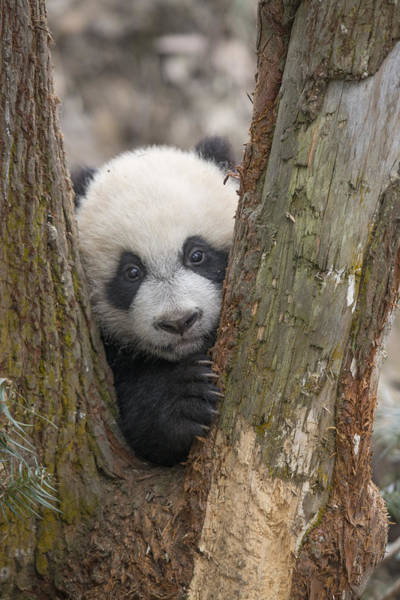 Art Print featuring the photograph Giant Panda Cub Bifengxia Panda Base by Katherine Feng