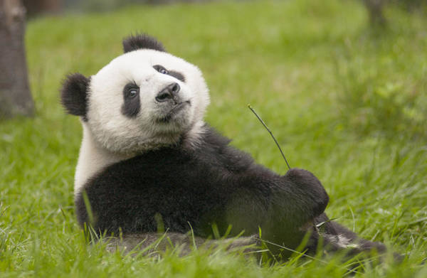 Ursidae Wall Art - Photograph - Giant Panda Cub Wolong National Nature by Katherine Feng