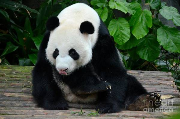 Photograph - Giant Panda With Tongue Touching Nose At River Safari Zoo Singapore by Imran Ahmed