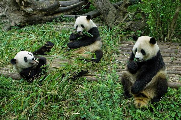 Behaviour Photograph - Giant Pandas Eating Bamboo by Peter Menzel/science Photo Library