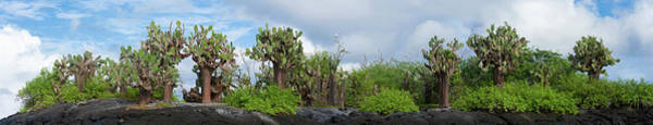 Opuntia Photograph - Giant Prickly Pear Cactus Plants by Panoramic Images